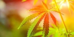 Hemp CBD Leaf